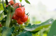 ''Temporary'' shortage of tomatoes in South Africa causes a huge dent in consumer pockets